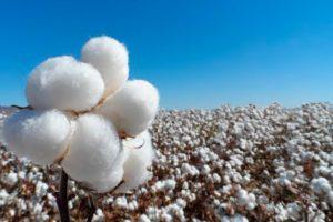 usos del algodón_ tèxtil Balsareny